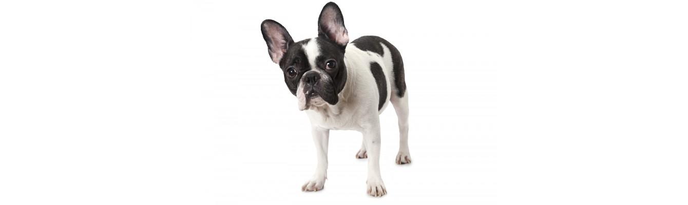 3+1 ράτσες σκύλων καναπέ για εσάς που θέλετε μία ήσυχη συντροφιά