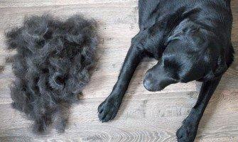 Πότε είναι τελικά η εποχή που οι σκύλοι χάνουν περισσότερο τρίχωμα;