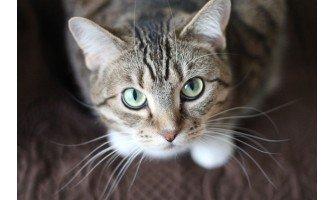 Τι πρέπει να τρώει μια στειρωμένη γάτα