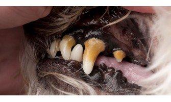 Η οδοντική πλάκα του σκύλου και η εξέλιξη της σε ένα μεγαλύτερο πρόβλημα